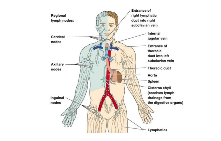 What is the lymphatic system lymphatic drainage massage montreal overview of the lymphatic system ccuart Gallery